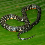 tricolored swamp snake (Erythrolamprus breviceps)