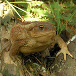 Common Toad (Bufo bufo), big female, Bulgarian Black Sea Coast, October 2014