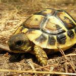 Griekse landschildpad (Testudo hermanni) juveniel