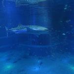 Whaleshark (Rhincodon typus)