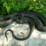 Dobbelsteenslang (Natrix tessellata), meer dan een meter lang dier.