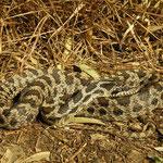 Four-lined Snake (Elaphe quatuorlineata) subadult