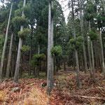 Stunning Cedar Trees.