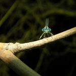 White-legged Damselfly (Platycnemis pennipes)