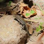 Anatolian Rock Lizard (Anatololacerta anatolica)