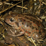 Common Spadefoot Toad (Pelobates fuscus), Gelderland, The Netherlands, April 2012