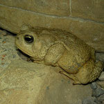 Woodhouse's Toad (Anaxyrus woodhousi)