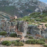 The zoo with many, many Ibex (Capra pyrenaica) © Laura Tiemann