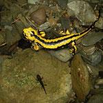 Vuursalamander (Salamandra salamandra fastuosa)