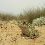 Syrische knoflookpad (Pelobates syriacus)