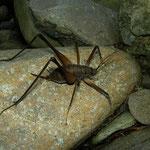 Cave cricket (Rhaphidophoridae)