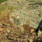 Ottomaanse adder (Montivipera xanthina)