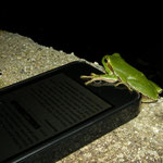 Italian Tree Frog trying to steal my Iphone, luckily I saw it on time...