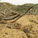 Coastal Horned Lizard (Phrynosoma blainvillii) in habitat