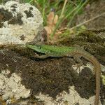 Italian Wall Lizard (Podarcis siculus)