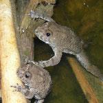 Geelbuikvuurpadden (Bombina variegata)
