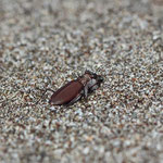 Tiger beetle (Cicindela concolor)