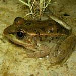 Relict Leopard Frog (Lithobates onca)