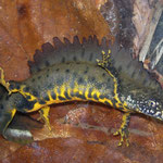 Northern Crested Newt (Triturus cristatus) male