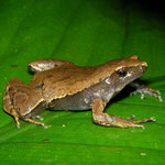 Amazon sheep frog (Hamptophryne boliviana)