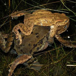 Gewone pad (Bufo bufo) en bruine kikker (Rana temporaria) mannetjes in amplexus met een gewone padden vrouwtje.
