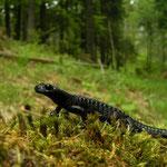 Alpine Salamander (Salamandra atra) in its habitat.