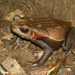 smooth-sided toad (Rhaebo guttatus)