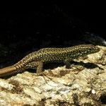 Leon Rock Lizard (Iberolacerta galani)