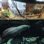 Amazon River exhibit with Arapaima, Ibis and Macaw.