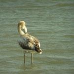 Flamingo (Phoenicopterus roseus) juveniel