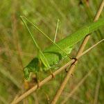 Sikkelsprinkhaan (Phaneroptera falcata).