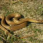 Smooth Snake (Coronella austriaca) with nice dorsolateral lines and a bright colouration.