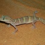 Western Banded Gecko (Coleonyx variegatus)