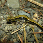 Dunn's Salamander (Plethodon dunni)