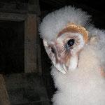 Kerkuiltjes (Tyto alba)