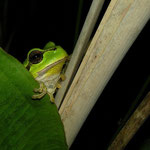 Tree Frog (Hyla arborea) shy female
