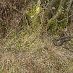 Adders (Vipera berus)