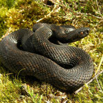 Adder (Vipera berus) dark individual #2 in sunlight.