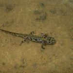 Alpenwatersalamander (Ichthyosaura alpestris) larve met opmerkelijke tekening.