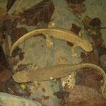 Pyreneeënbeeksalamanders (Calotriton asper)