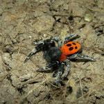 Ladybird Spider (Eresus sandaliatus) male