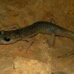 Supramonte grottensalamander (Speleomantes supramontis)