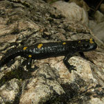 Alpine Salamander (Salamandra atra pasubiensis)