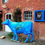 cape Arconas cow