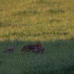 L'apprentissage de la chasse aux petits
