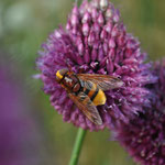 Une abeille sur un allium sphaerocephalon... (Photo Anne Lavorel)