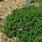 Thym rampant : super couvre-sol stimulant pour les arbustes.