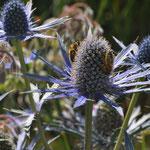 ...et sur des chardons bleus (Eryngium). (Photo Anne Lavorel)