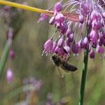 ...sur un autre allium (pulchellum),...  (Photo Anne Lavorel)