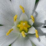 L'ornithogale fait partie de l'élixir floral de 1ère urgence du Dr Bach.